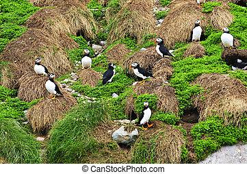 puffins, newfoundland, vybírající hnízda