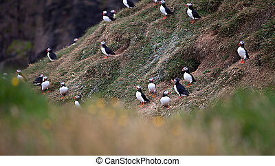 Puffins on Icelandic Cliff - An Atlantic Puffin colony on...
