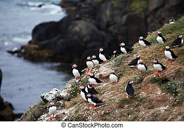 Puffins on Icelandic Cliff - An Atlantic Puffin colony on ...
