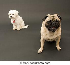 Pug and Maltese