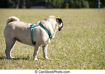Pug at Dog Park Watching the Action.