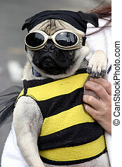 Pug Bug! - This Pug Dog was dressed up like a Bumble Bee at...