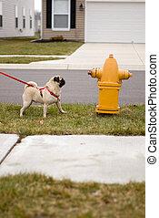Pug dog at fire hydrant