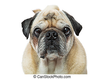 Pug Dog Close-up Looking Forward Center