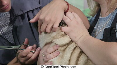 Pug Dog Grooming at Pet Salon