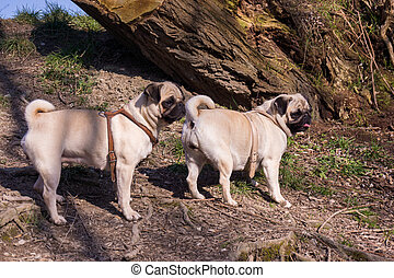 pug dog in a summer park.