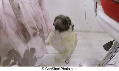 Pug dog indoors eating shot