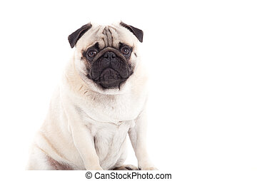 pug dog is looking