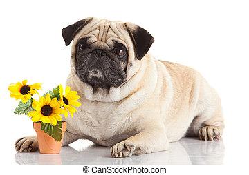 pug dog isolated on a white background - pug dog isolated on...