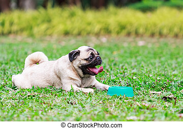 Pug dog relaxing on green grass