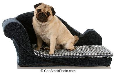 pug dog sitting on a blue dog couch