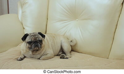 Pug dog sitting on the sofa