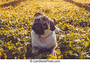 Pug dog walking in spring forest. Puppy lying among yellow...