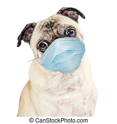 Cute Pug purebred dog wearing protective surgical face mask with sweet expression looking forward at camera isolated on white background