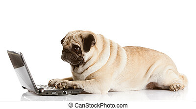 Pug Dog with laptop.  - Pug Dog with laptop.
