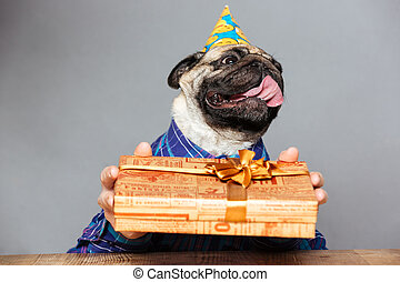 Pug dog with man hands in birthday hat holding present -...