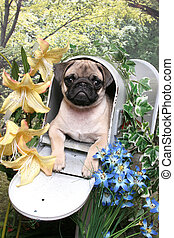 Pug in a Mailbox - A little tan pug puppy lays in an open...