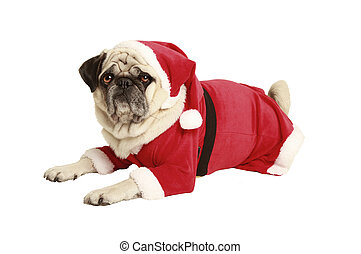 pug in santa costume lies and looks, exempted, white...