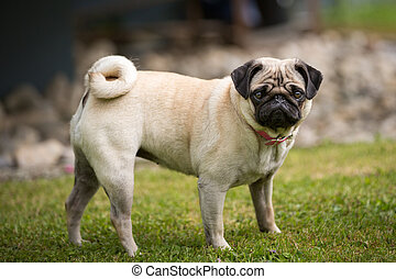 Pug lady - A pug dog stands in a green meadow.