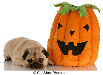 pug laying beside halloween pumpkin on white background