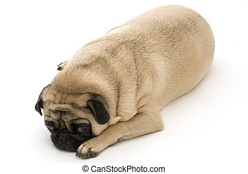 pug laying down pug sitting down 4013
