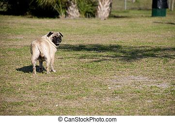 Pug Looking Back at Dog Park