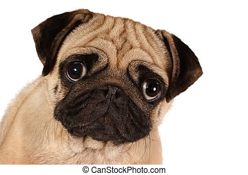 Pug looking to you isolated on a white background