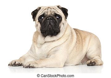 Pug lying on white background