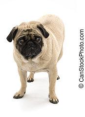 Pug on White Background