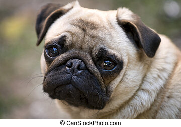 Pug - Portrait of a young pug. Close up.
