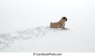 Pug playing with the toy in virgin snow. Dog outdoors on...