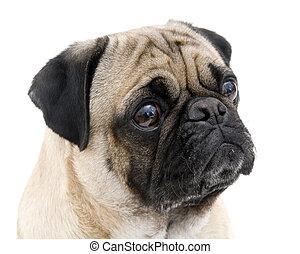 Pug Portrait on White Background.