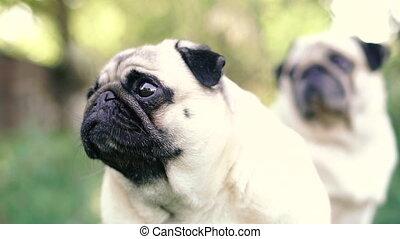 Pug. Pug breed dog portrait.