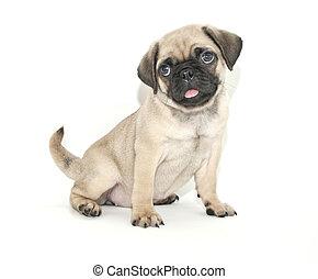 Pug Puppy - Cute little Pug puppy sitting on a white...