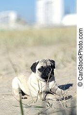 Pug puppy take a sunbath on the beach