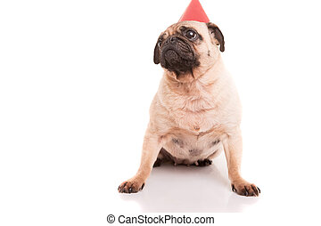 Pug Puppy Wearing A Festive Hat Isolated Over White Background Chihuahua Dog In Birthday