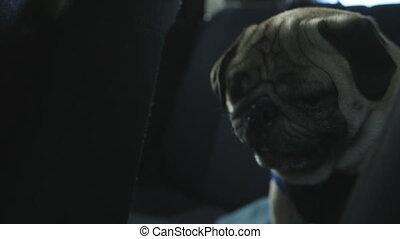 Pug Sitting in Back Seat of Car - Handheld, interior, medium...