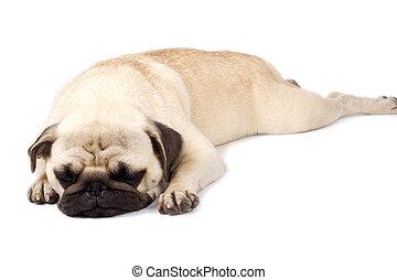 pug sleeping