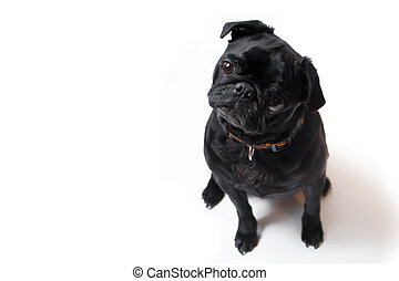 Pug - Black Pug posing for the camera on a white background...