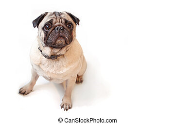 Pug - Fawn colored Pug posing for the camera on a white...