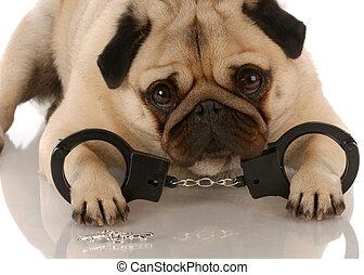 pug, teclas, deitando, quebrar, -, cão, baixo, algemas, lei