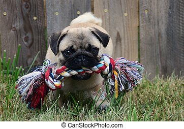 Pug with chew toy - pug playing in the grass with a chew toy