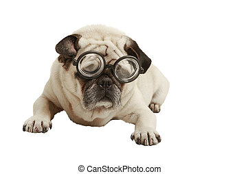 Pug with glasses, exempted, white background, recumbent,...