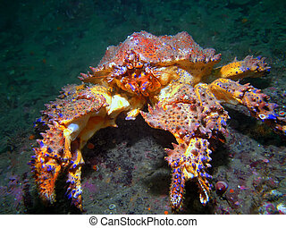 Puget Sound King Crab - A Puget Sound King Crab also known...