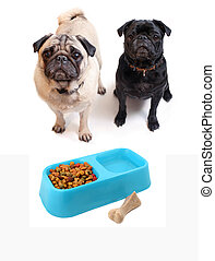 Black and Fawn colored Pugs with blue bowl containing dogfood and water. Chewable bone beside bowl