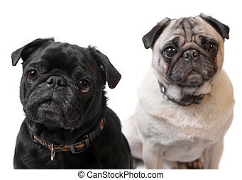 Pugs - Black and Fawn colored Pugs posing for the camera on...