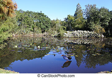 pukeko, natif australasie, swamphen