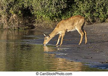 Puku Antelope - Botswana - A female Puku (Kobus vardonii)...