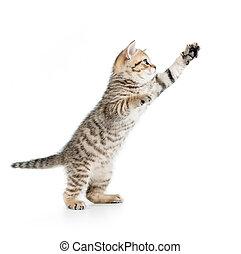 pular, britânico, gatinho, isolado, branco, fundo