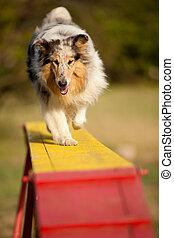 pular, limite collie, ligado, agilidade, curso